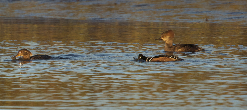 Three Hooded Mergansers begin to feast on the morning tide
