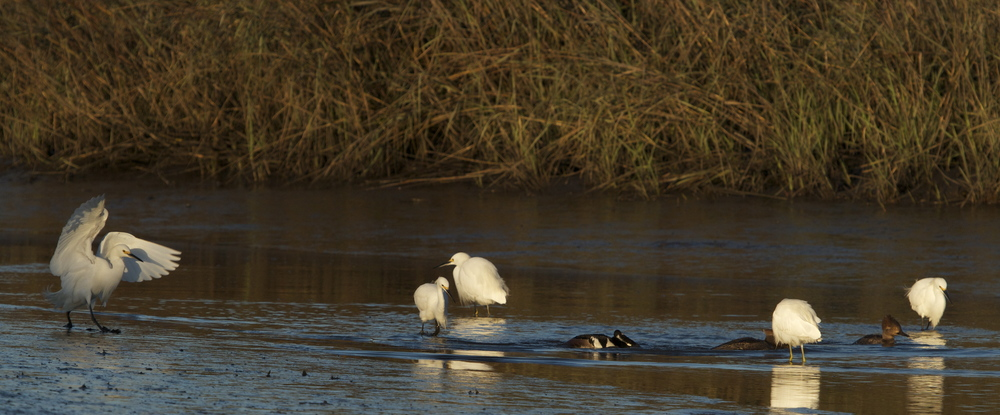 A hungry group of Snowy Egrets emerge from the shadows.