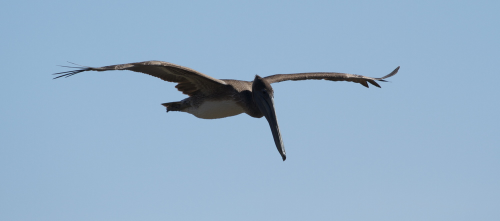 A Brown Pelican glides up the channel looking for a Superbowl sized brunch.