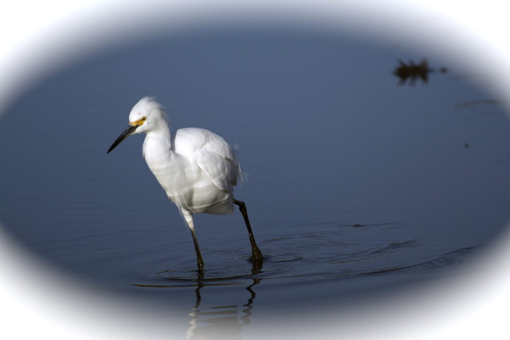 Snowy Egret looks for food.