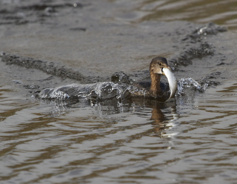 A Pied Billed Grebe emerges from the marsh with a fresh catch. Burger King isn't the only home of the whopper!