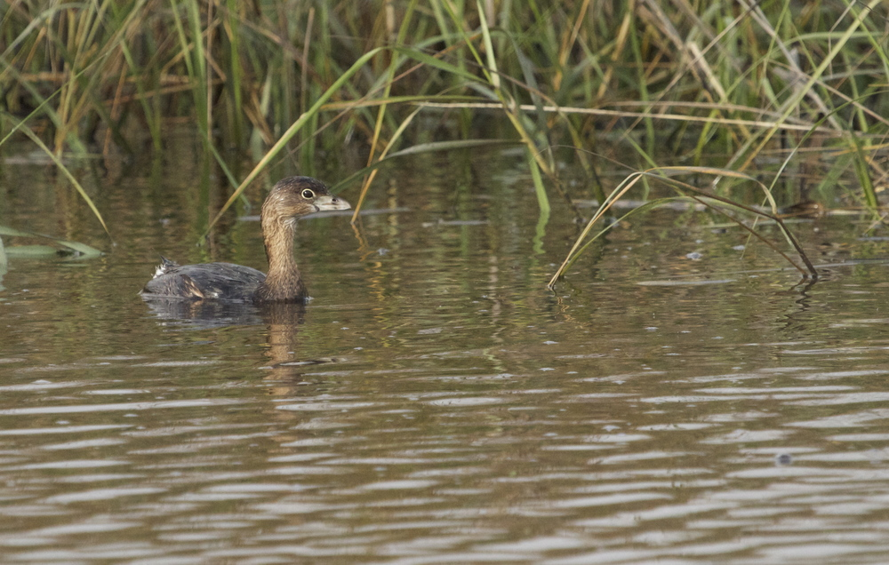 Now that was a nice fish sandwich. Note the grebe's beak beginning to sport a black vertical stripe for mating season.