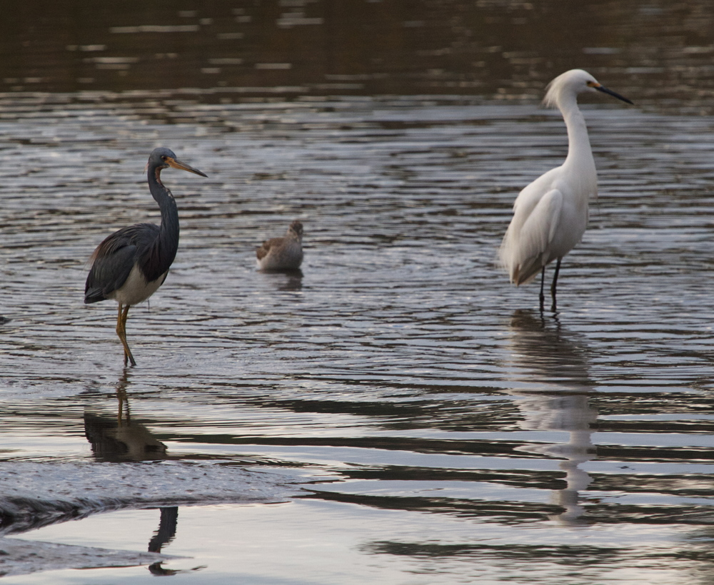 An unlikely trio, they are the Three Marshketeers!, Tito the Tricolored Heron, Jose the Stilted Sandpiper and Enrico the Snowy Egret. Beware!