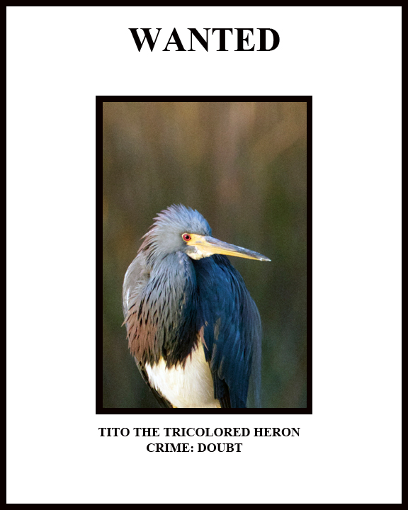 Wanted! Tito the Tricolored Heron. Crime: DOUBT