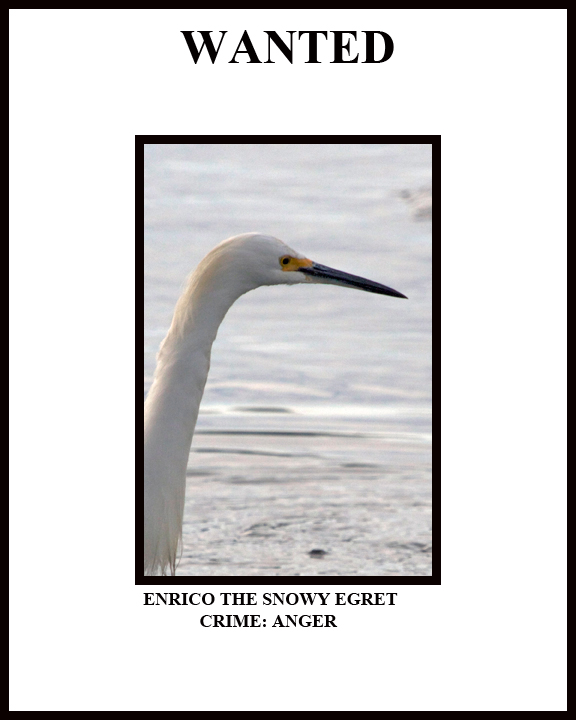 Wanted! Enrico the Snowy Egret. Crime: ANGER