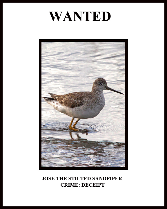 Wanted! Jose the Stilted Sandpiper. Crime: DECEIPT