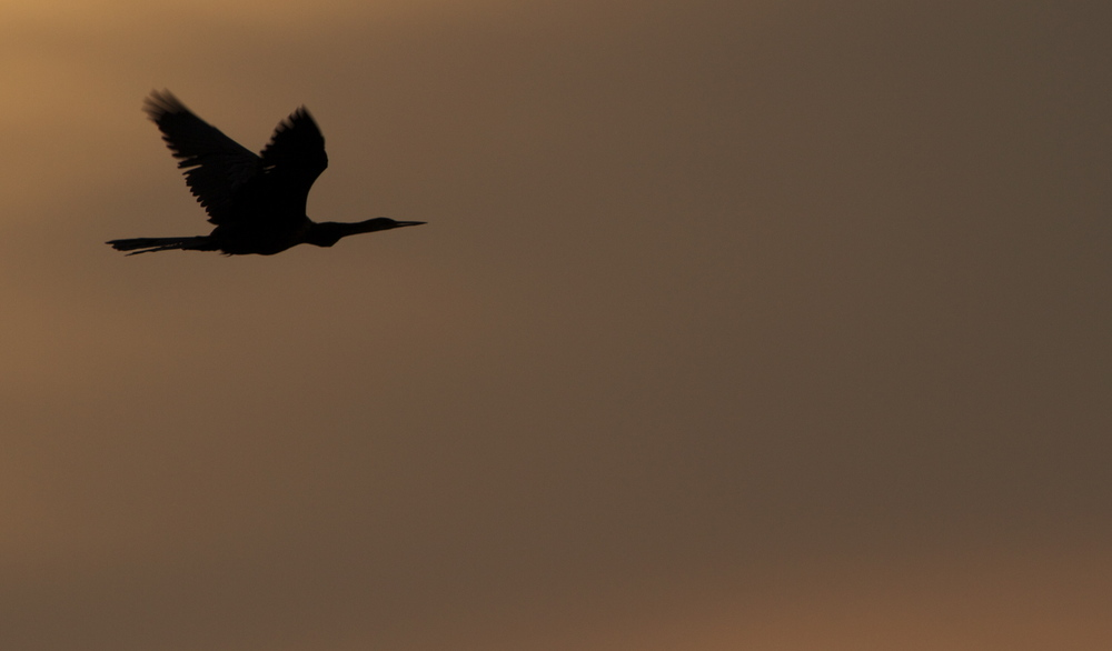 Anhinga fly by, note the straight beak.