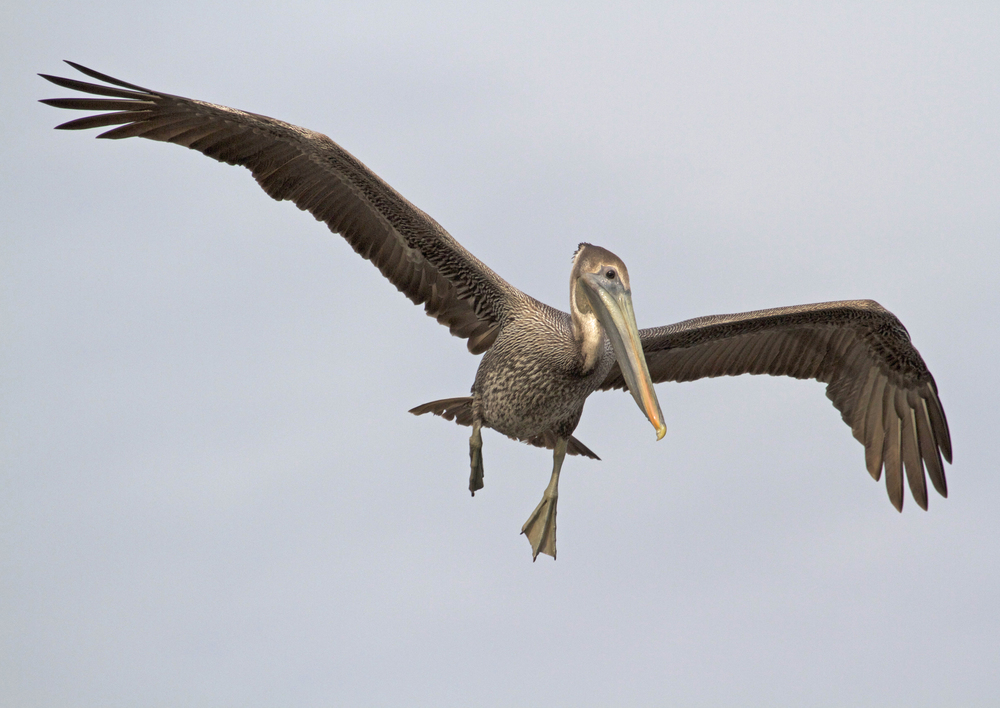 The Pelican spots a fish and prepares to dive! My shot of the day!