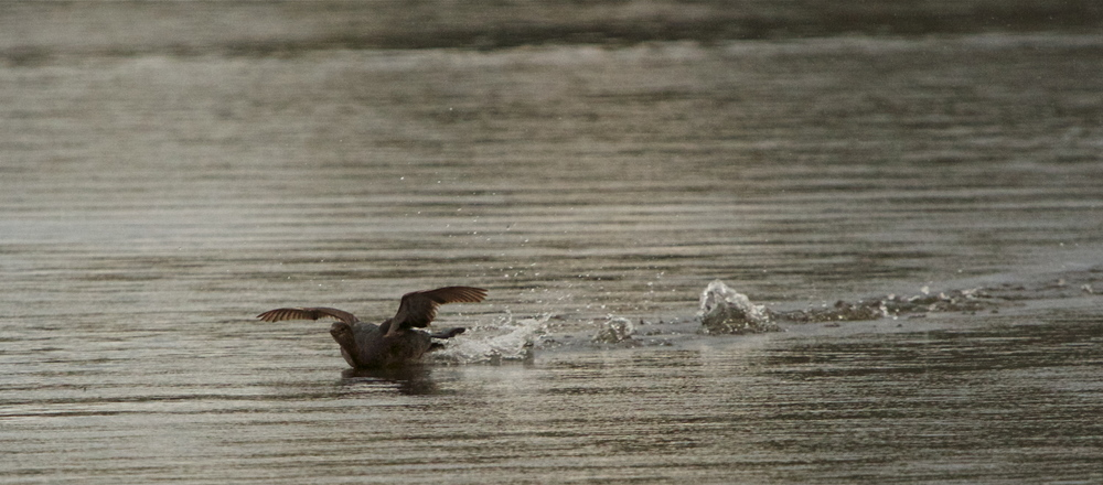Pied Billed Grebe does a belly flop landing.