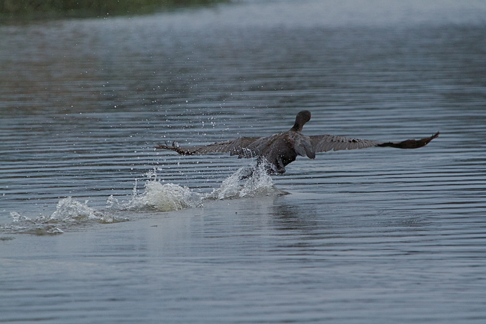 With three flaps of the wings, the cormorant walks, then begins to fly.