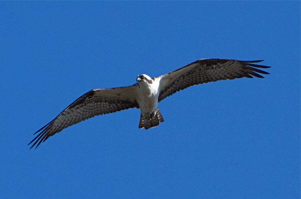 The Osprey is one of two hovering hawks. This one begins to observe me from overhead.