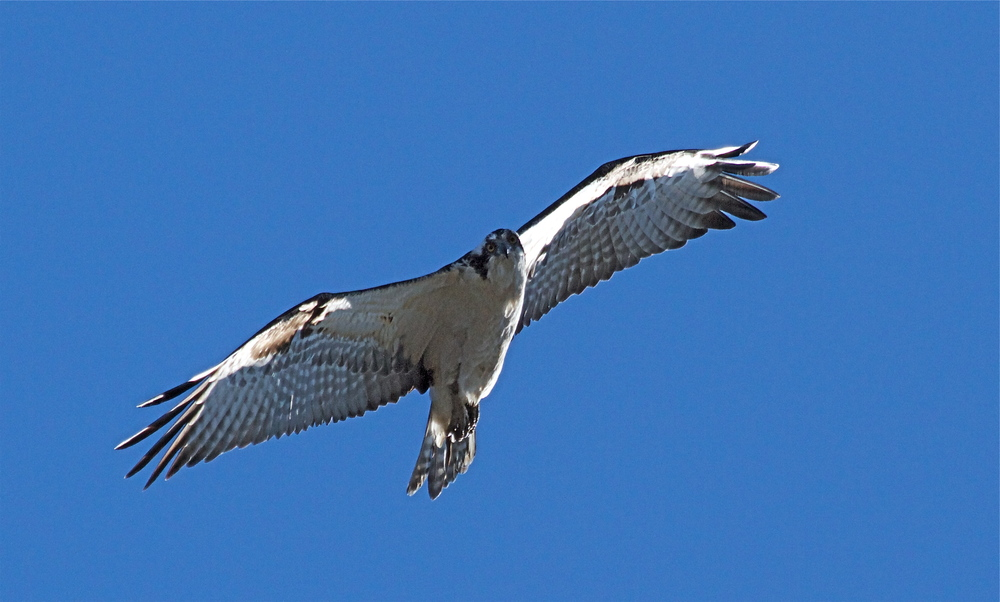 The Osprey confirms it has sighted the crazy bird photographer of Broward!