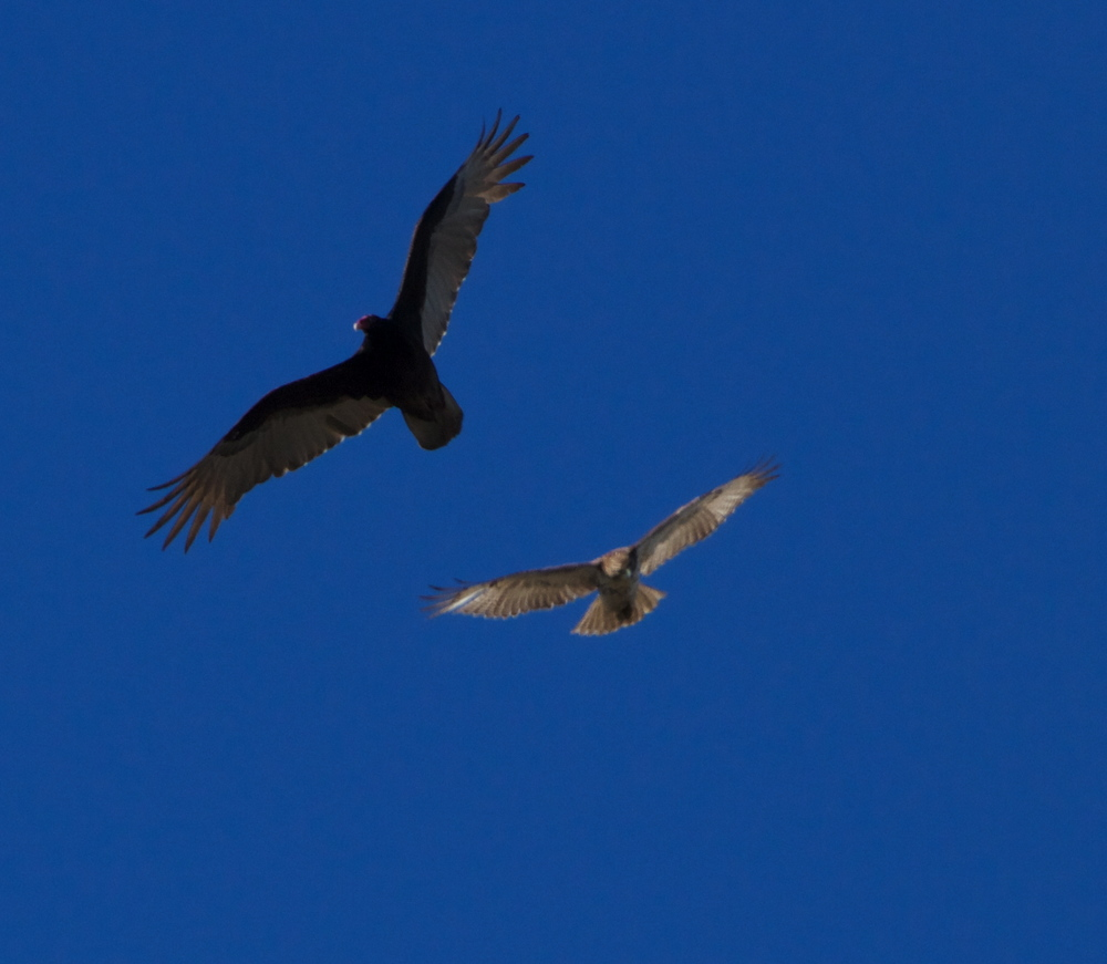 The red head Turkey Vulture and Red Shouldered Hawk peer down.