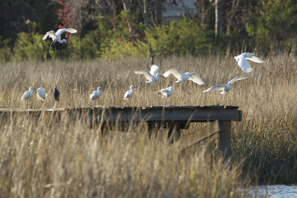 The Snowy Egrets take flight from one pier to another.