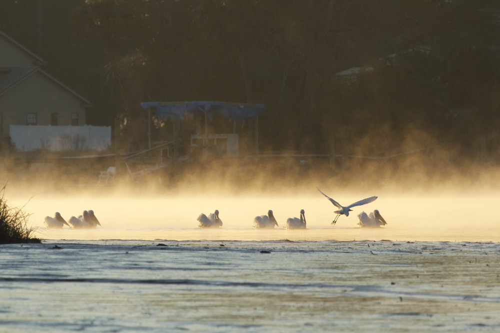 Seven White Pelicans appear like ghosts in the sunlit fog, gliding by like white spirits on the water.