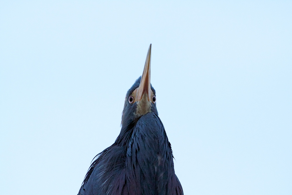 The Tricolored Heron peers down with inquisitive eyes.