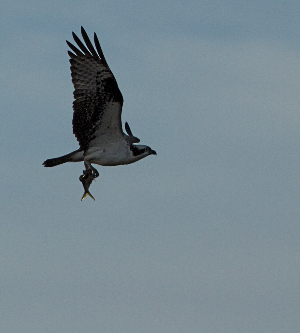Did someone order fresh fish for lunch? Yes the Osprey did!