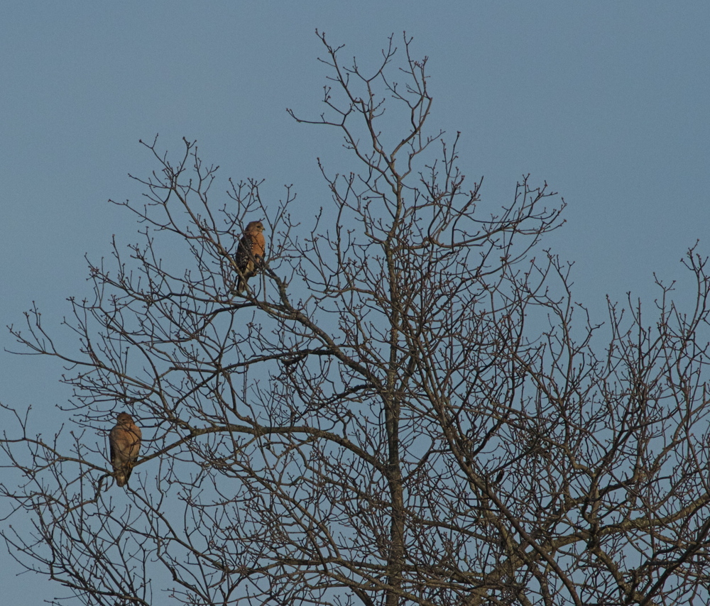 The duo of death and destruction, the Red Shouldered Hawks, sit and watch the gathering, waiting.