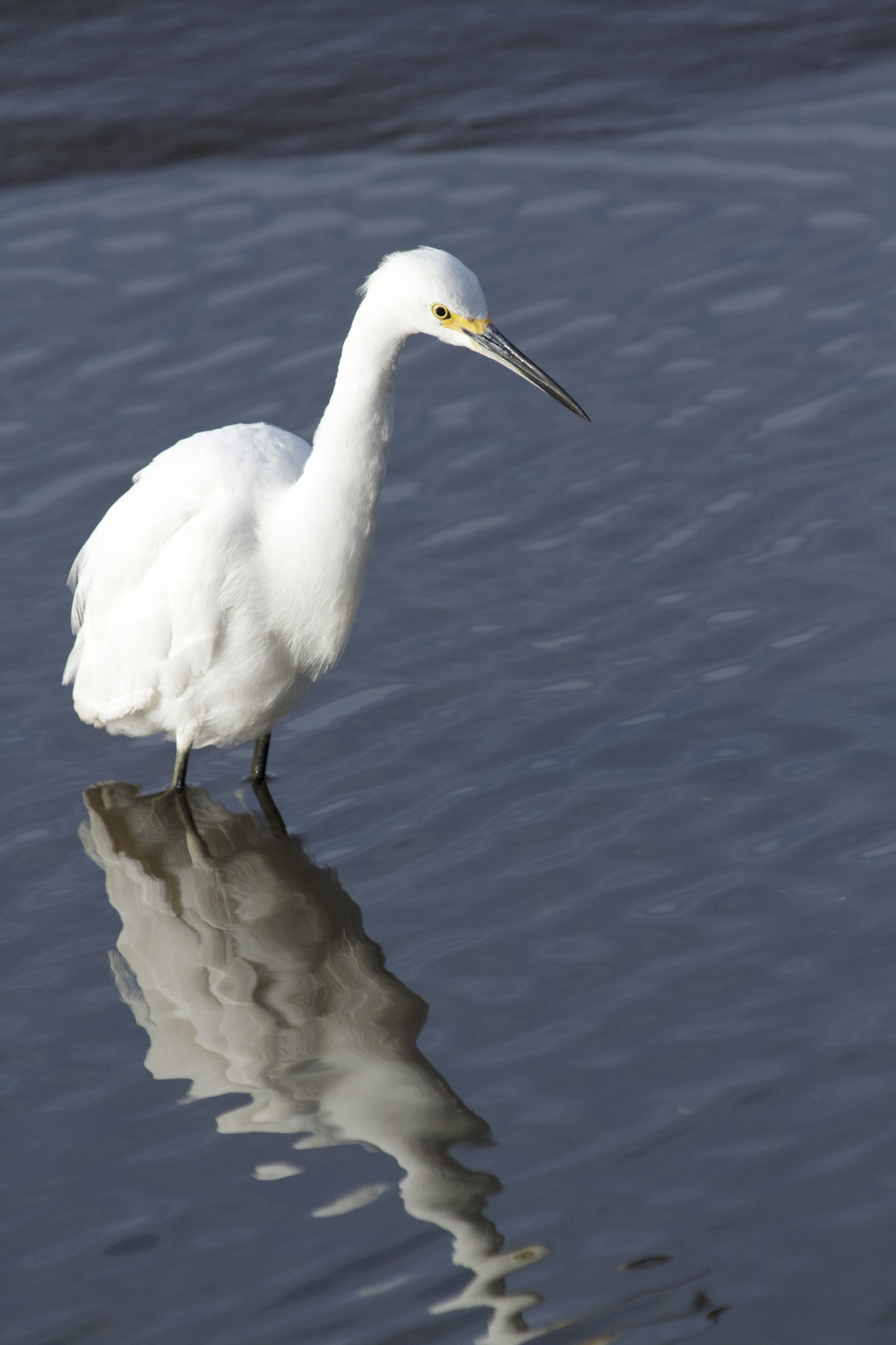 A Snowy Egret reflects on the day!