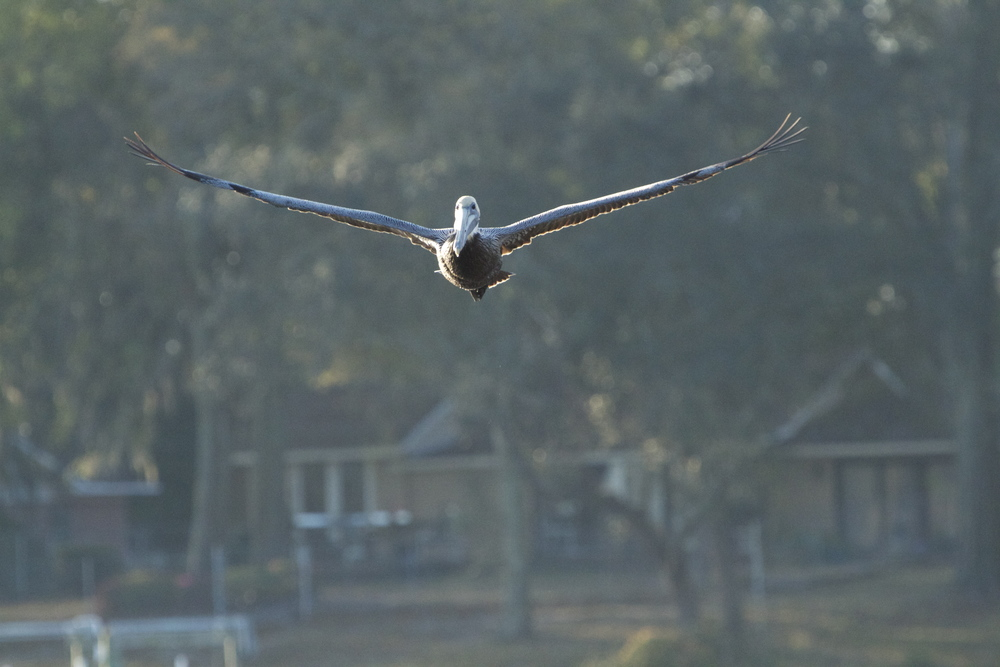 Looks like a normal pelican just flying by!
