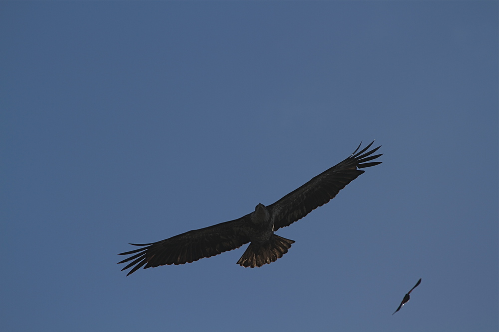 The eagle ignores the pesky bird and focuses in on a potential prey.