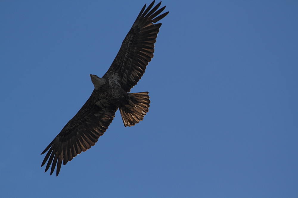 The eagle soars directly overhead and spots my little dachshund Lucy!