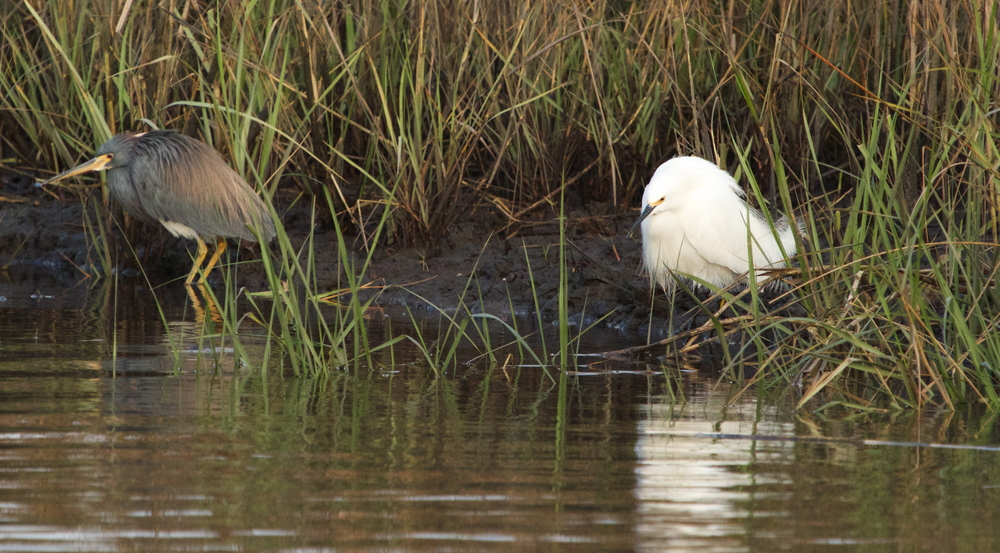 Resigned toleration is on the face of the Tricolored Heron as the Snowy Egret intrudes on its morning fishing.