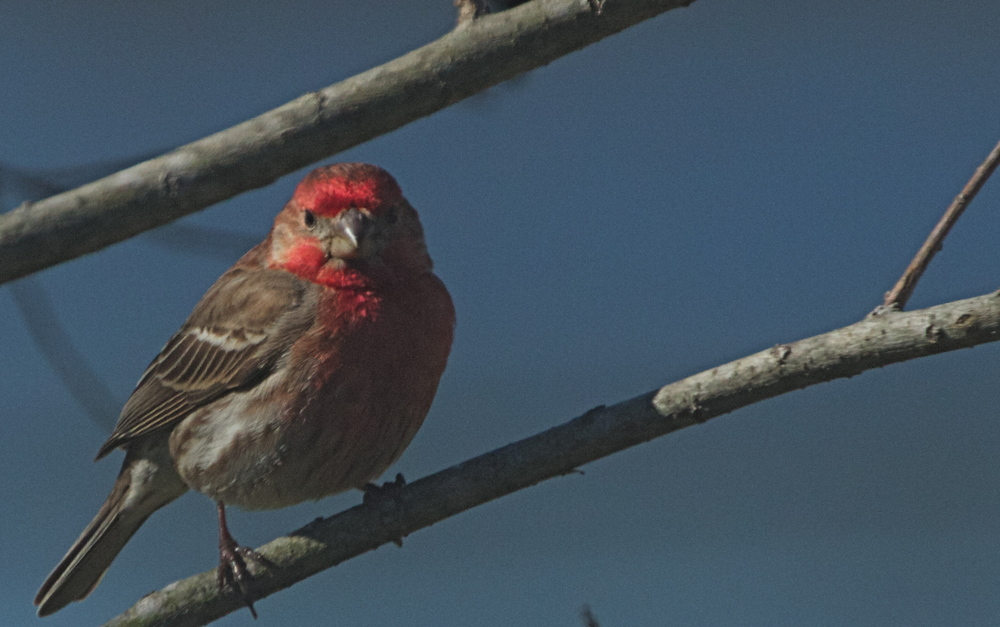 A Shirley bird, (actually a male House Finch) greets the morning sun.