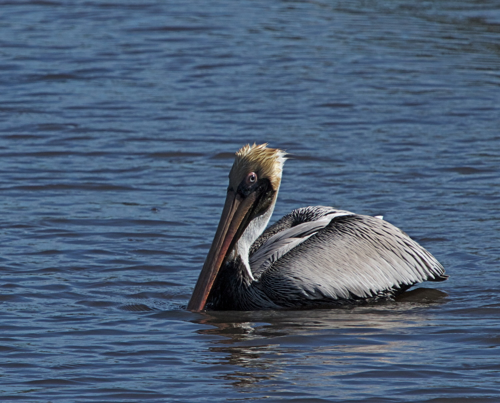 The Brown Pelican keeps a wary eye on me and one on the fish.