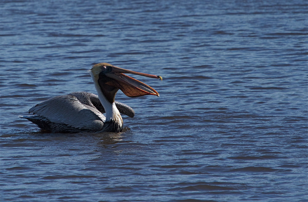 Look ma, no mud! The pelicans orange pouch illuminated by the afternoon sun.