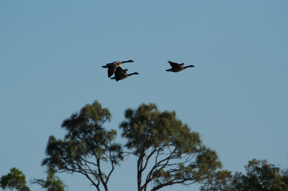 A trio of Canada Geese head towards the sunset.