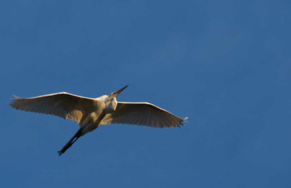 A Great White Egret, like an angel gliding by appears from the east flying into the setting sun.