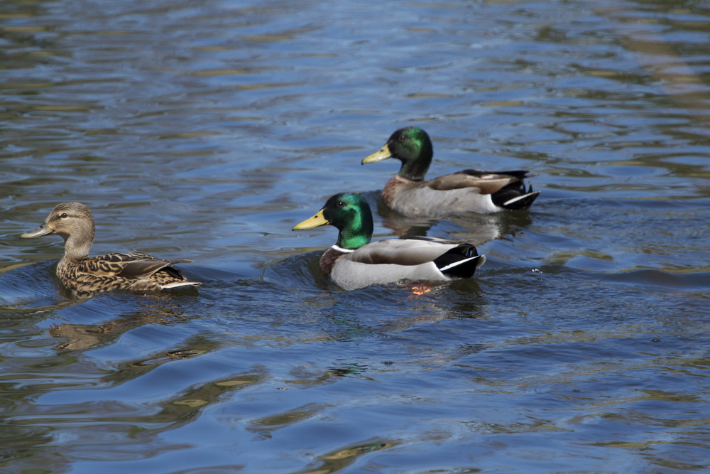 Mallards on the pond.