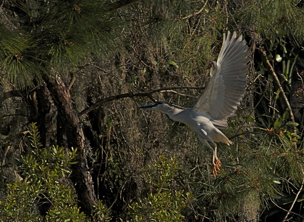 A Black Crowned Night Heron takes roost at Reddi Point. This bird is on my list of desired close ups.