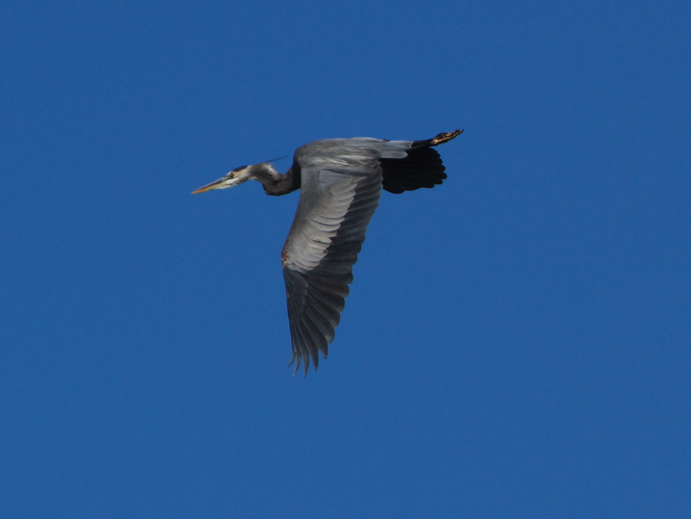 A Great Blue Heron takes wing and struggles against the wind.