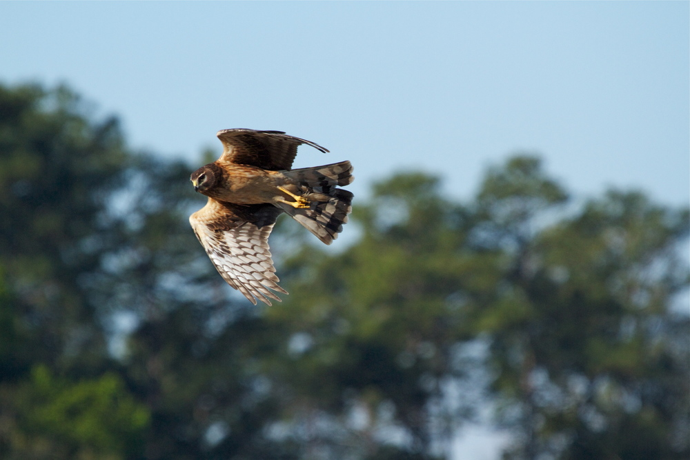 Northern Harrier Hawk goes into a belly roll as it wings by!