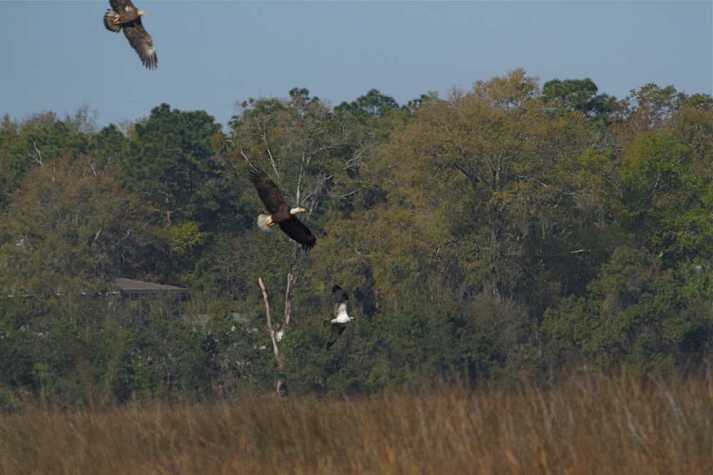 They swoop down from the trees on an unsuspecting Osprey!