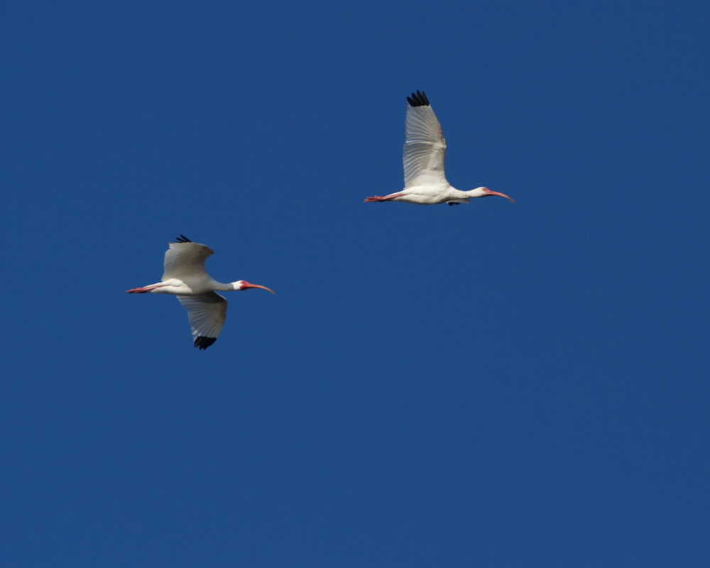 Spring is here says the IBIS!