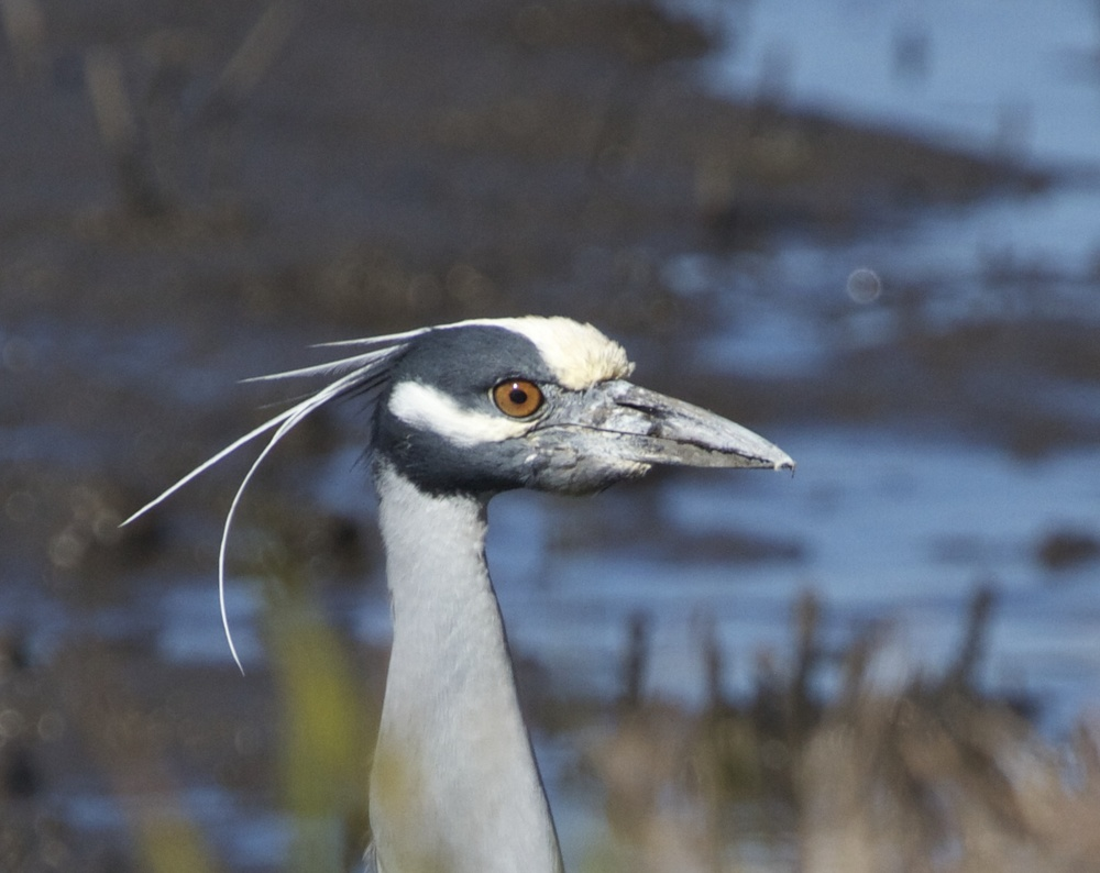 I surprise George , a Yellow-crowned Night Heron peeking up over the bank.