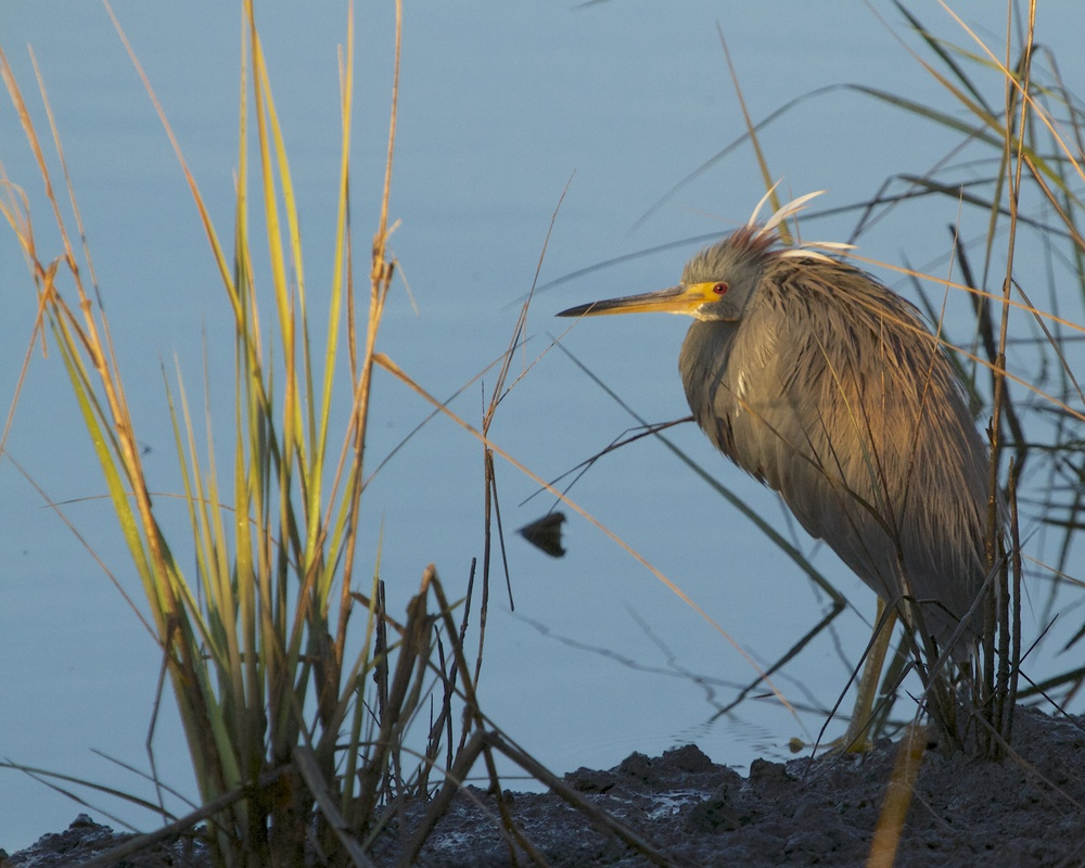 Dawn breaks as the Tricolored Heron waits.