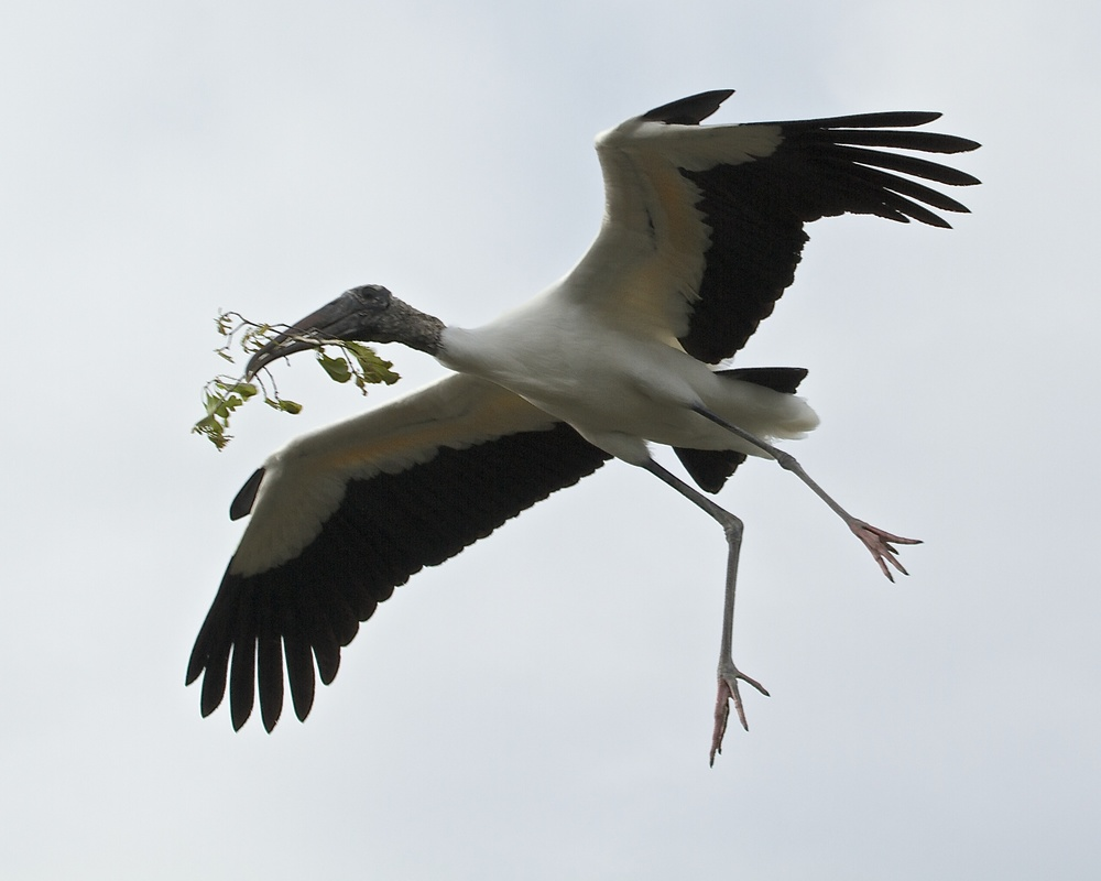 We're back! Who says we are extinct? Wood Stork brings nesting materials.