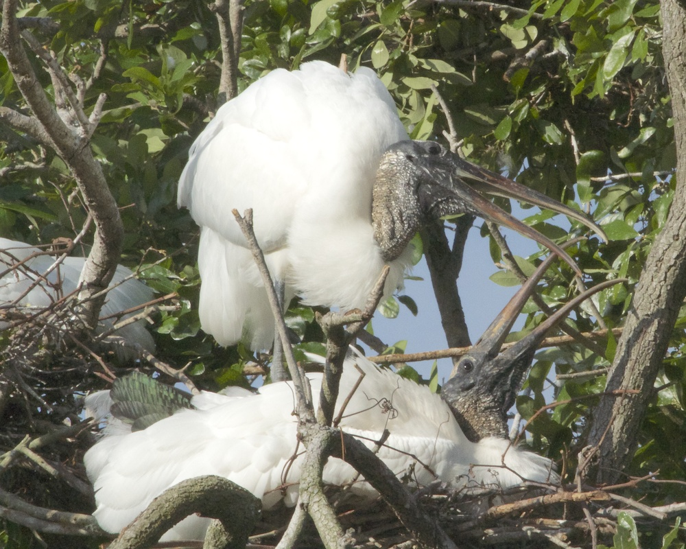 The Jacksonville zoo has one of the most successful Wood Stork Rookeries in Florida.
