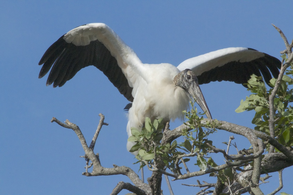 Down to only 5000 pair in 1978 these Wood Storks are making an amazing comeback. They are beautiful to see flying even with their not so pretty face. Beauty is only feather deep anyway.