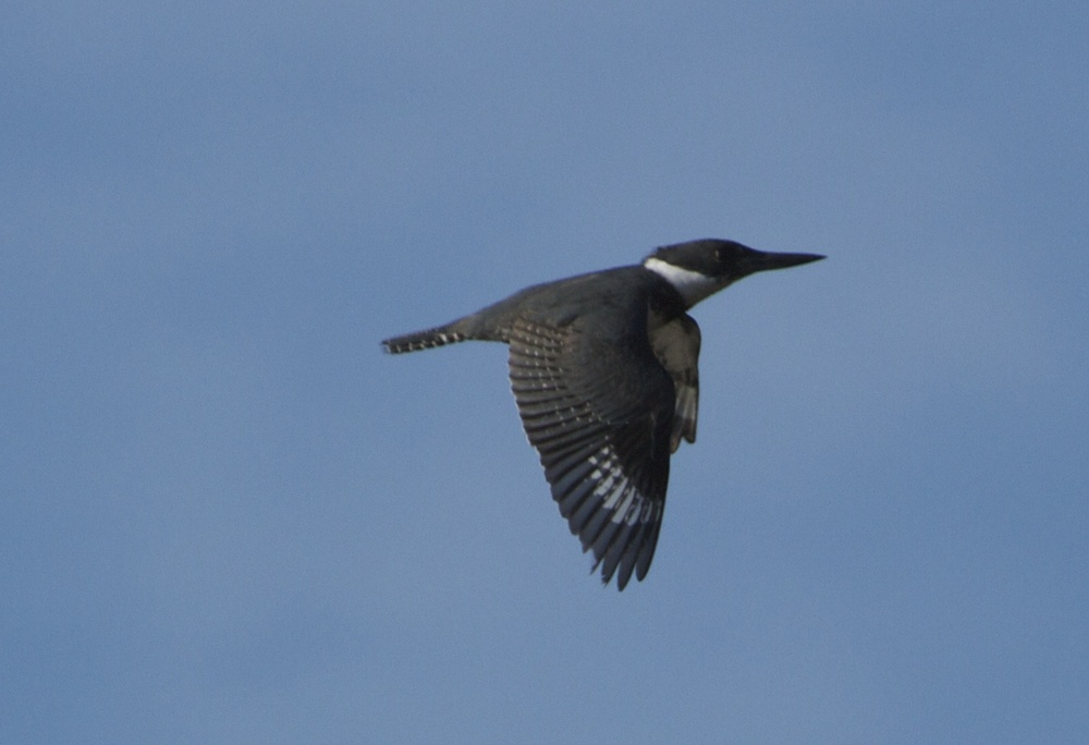 Spunky the female Belted Kingfisher wings by after I surprised her.