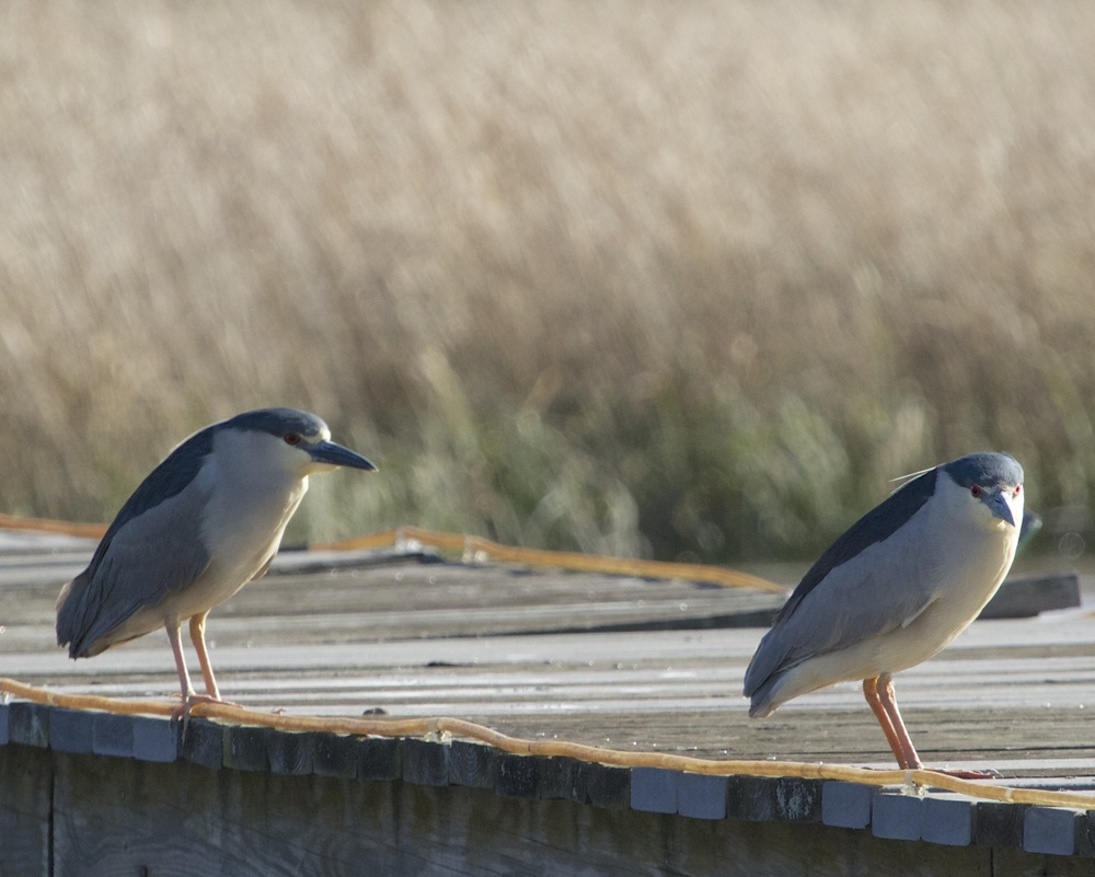 Two Black-crowned Night Herons at evening light.