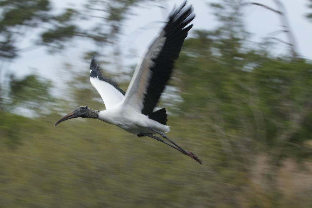 Motion!... I slow the shutter speed as I pan the Wood Stork to get more motion blur in the background.