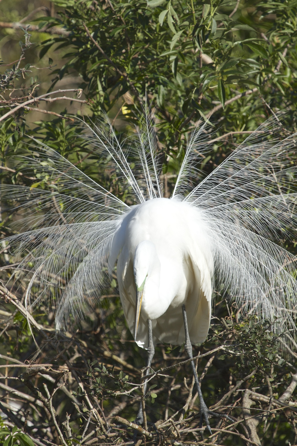 A Great Egret displays its plumes!