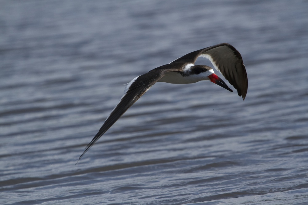 Non breeding colors on Black Skimmer.