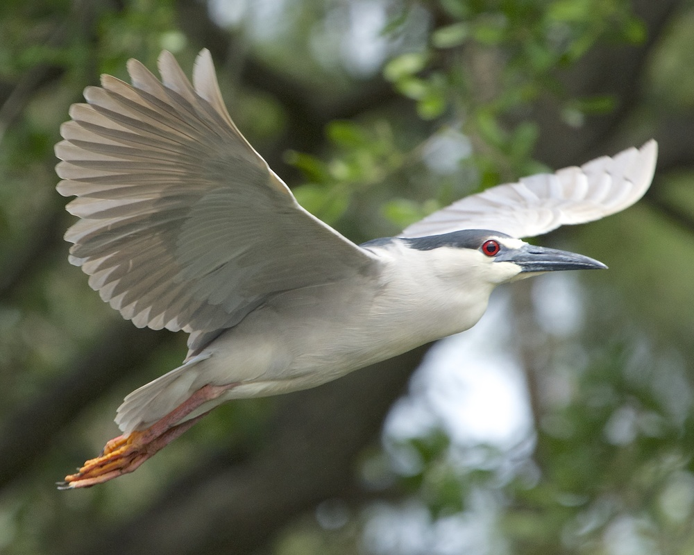 Black-crowned Night-Heron on wing.