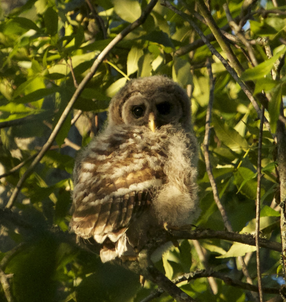 Fledgling Barred Owl peeks out of the tree.